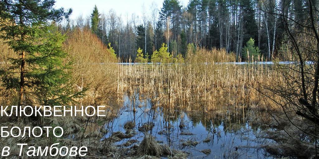 Клюквенное болото Тамбовская область